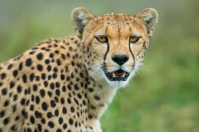 Cheetah Acinonyx Jubatus, Ndutu Poster