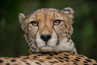 Cheetah (acinonyx Jubatus Poster by Pete Oxford