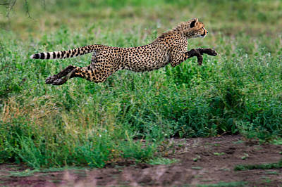 Cheetah Acinonyx Jubatus Running Poster by Panoramic Images