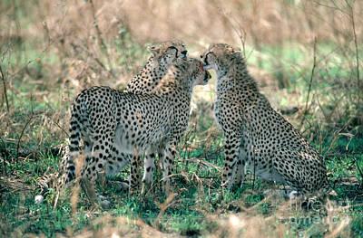 Cheetah Acinonyx Jubatus Siblings Poster by Gregory G. Dimijian, M.D.