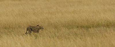 Cheetah Acinonyx Jubatus Stalking Prey Poster by Panoramic Images