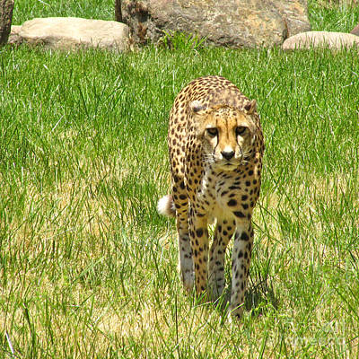 Cheetah Approaching Poster