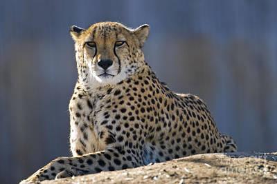 Cheetah Poster by Juli Scalzi