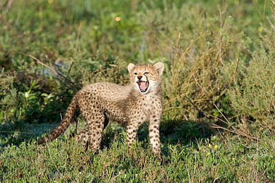 Cheetah Cub Acinonyx Jubatus Yawning Poster by Panoramic Images