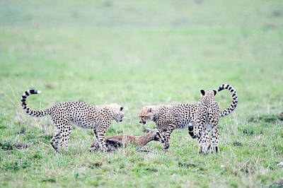 Cheetah Cubs Acinonyx Jubatus Hunting Poster by Panoramic Images
