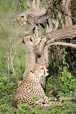 Cheetah Cubs Acinonyx Jubatus Poster by Panoramic Images