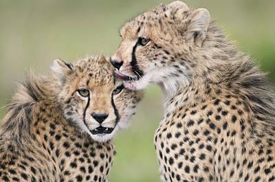 Cheetah Cubs Grooming Kenya Poster by Tui De Roy