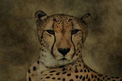 Cheetah Face Poster by Dan Sproul