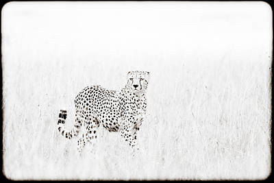Cheetah In The Grass Poster by Mike Gaudaur