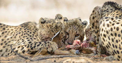 Cheetah Meal Poster by Andy-Kim Moeller