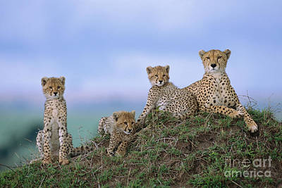 Cheetah Mother And Cubs Masai Mara Poster by Yva Momatiuk John Eastcott
