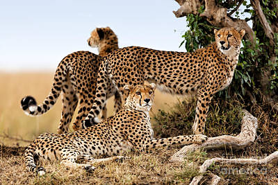 Cheetah Mother And Two Older Cubs In Masai Mara Poster by Maggy Meyer