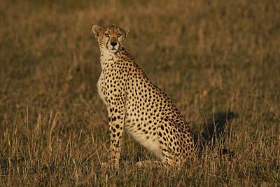 Cheetah On Savanna Masai Mara Kenya Poster