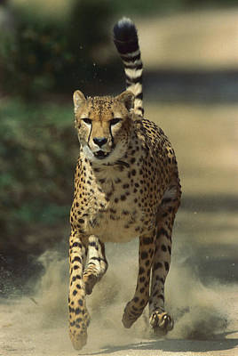 Cheetah Running Poster by San Diego Zoo