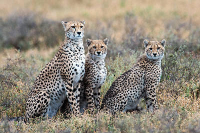 Cheetahs Acinonyx Jubatus In A Field Poster