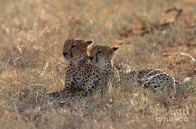 Cheetahs Acinonyx Jubatus Jubatus Poster by Art Wolfe