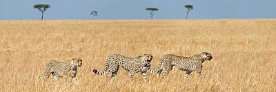 Cheetahs Acinonyx Jubatus Looking Poster by Panoramic Images