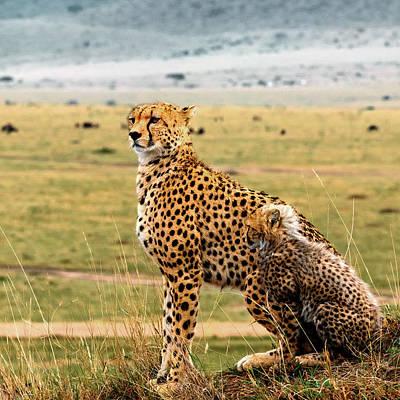 Cheetahs Poster by Babak Tafreshi