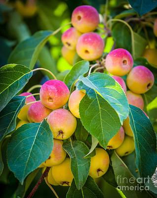 Chelan Apples Poster
