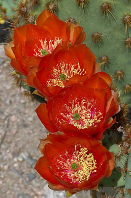 Poster featuring the photograph Chenille Prickly Pear Quartet by Cindy McDaniel