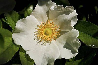 Cherokee White Rose Poster by Rich Franco