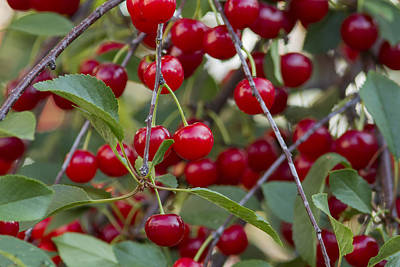 Cherries Poster by Mircea Costina Photography