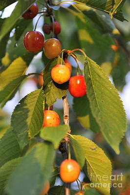 Cherries On Branch At Spring Poster by Sami Sarkis