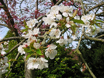 Cherry Blossom In The Spring Poster