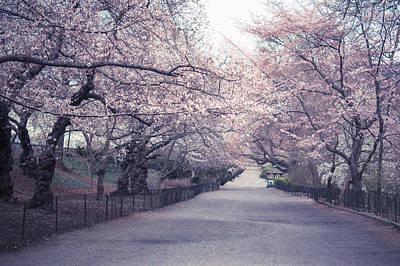 Cherry Blossom Path - Central Park Springtime Poster