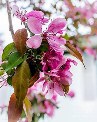 Cherry Blossom Pink Poster by Arne Hansen