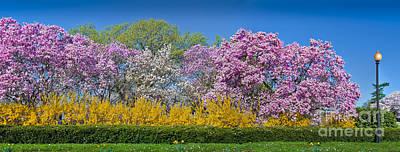 Cherry Blossom Trees In Full Bloom Sakura Cherry Blossoms Washington Dc  Poster by David Zanzinger