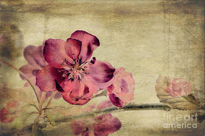 Cherry Blossom With Textures Poster by John Edwards