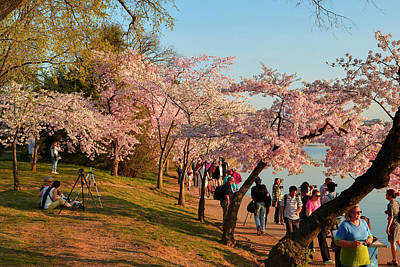 Cherry Blossoms 2013 - 007 Poster
