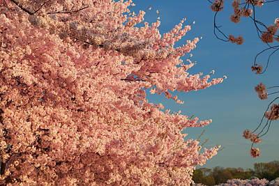 Cherry Blossoms 2013 - 013 Poster by Metro DC Photography