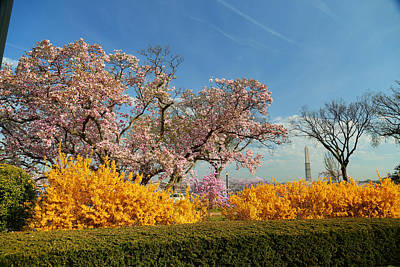 Cherry Blossoms 2013 - 050 Poster by Metro DC Photography