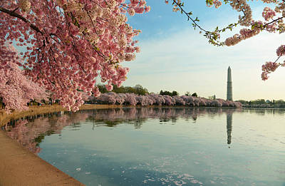 Cherry Blossoms 2013 - 084 Poster