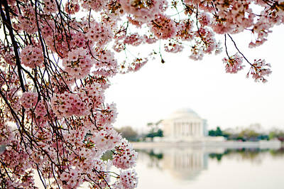 Cherry Blossoms Framing The Jefferson Memorial Poster by Susan Schmitz