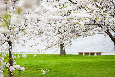 Cherry Blossoms On The Shore Of Fort Mchenry Poster by Susan Schmitz