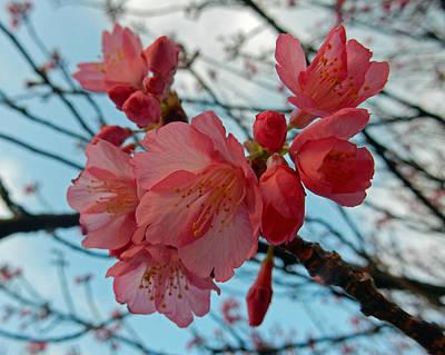 Cherry Blossoms Poster by Pamela Walton