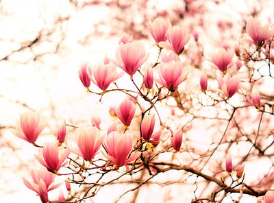Cherry Blossoms - Springtime Blush Pink Poster