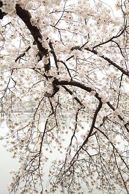 Cherry Blossoms - Washington Dc - 0113102 Poster