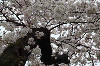 Cherry Blossoms - Washington Dc - 0113114 Poster