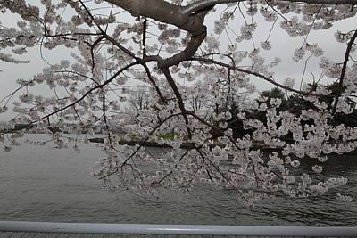 Cherry Blossoms - Washington Dc - 0113134 Poster