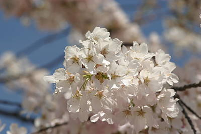 Cherry Blossoms - Washington Dc - 011339 Poster by DC Photographer