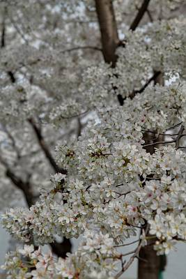 Cherry Blossoms - Washington Dc - 011358 Poster by DC Photographer