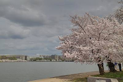 Cherry Blossoms - Washington Dc - 011361 Poster by DC Photographer