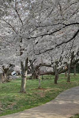 Cherry Blossoms - Washington Dc - 011364 Poster by DC Photographer