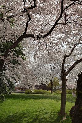 Cherry Blossoms - Washington Dc - 011369 Poster by DC Photographer