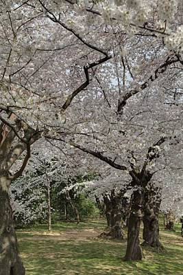 Cherry Blossoms - Washington Dc - 011374 Poster