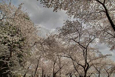 Cherry Blossoms - Washington Dc - 011377 Poster by DC Photographer